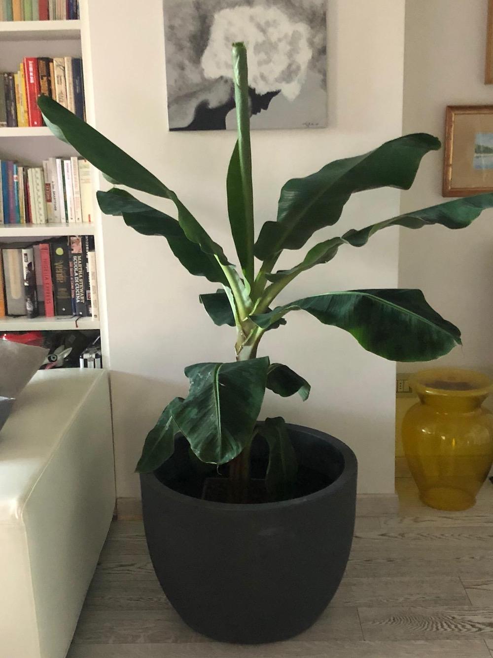 Banano in pianta