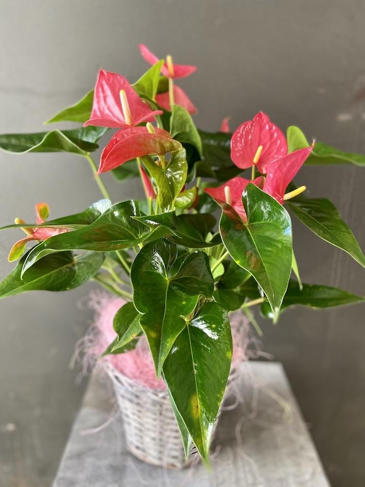Anthurium Pianta florashopping rossana flowerIMG_2906
