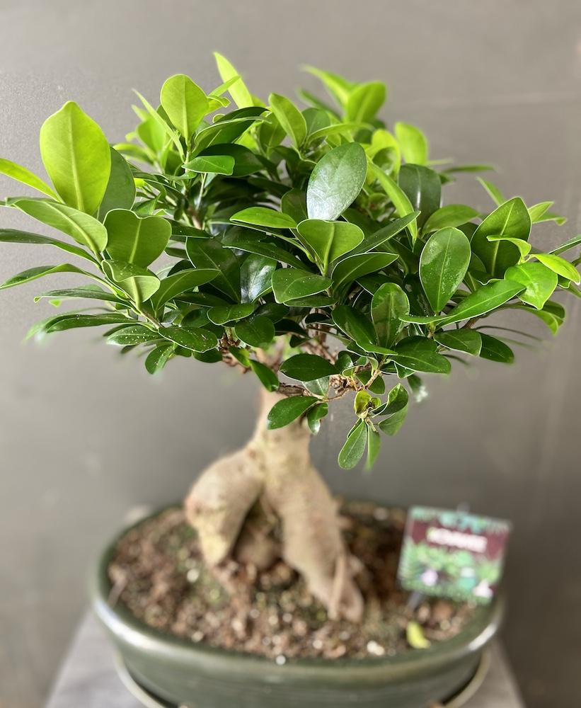 Bonsai ficus florashopping rossana flower2