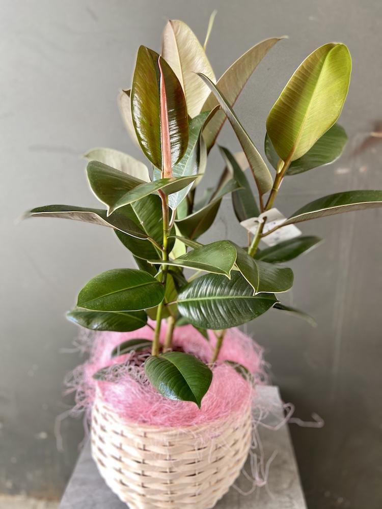Ficus robusta pianta rossana flower florashopping4