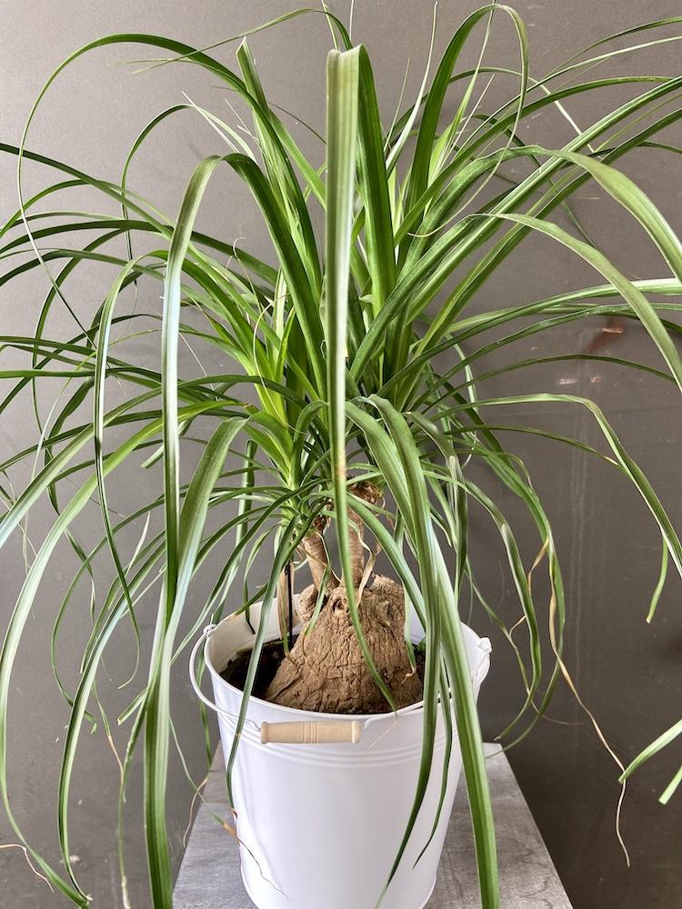 Mangia fumo Nolina pianta florashopping rossana flower3