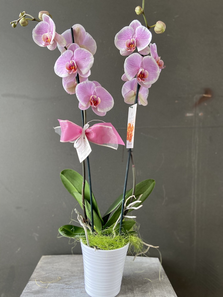Phalaenopsis pianta Florashopping rossana flowerIMG_2881
