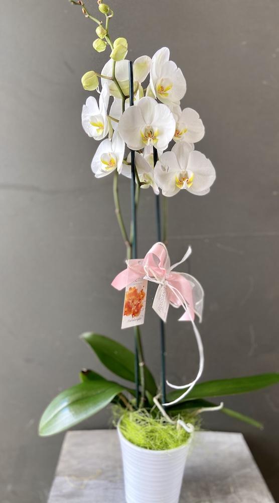 Phalaenopsis pianta Florashopping rossana flowerIMG_2882