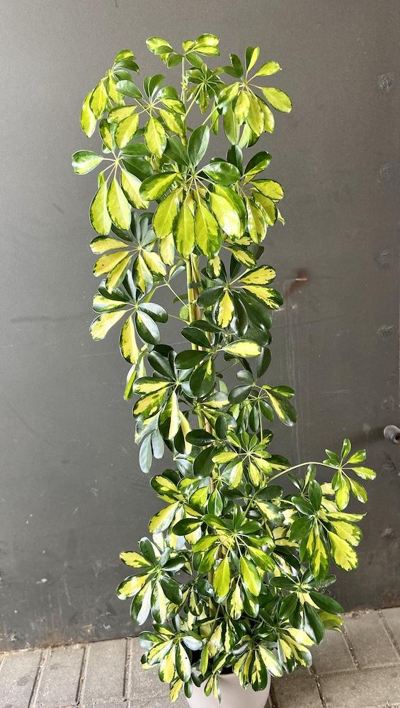 Schefflera florashopping rossana flowerIMG_2862