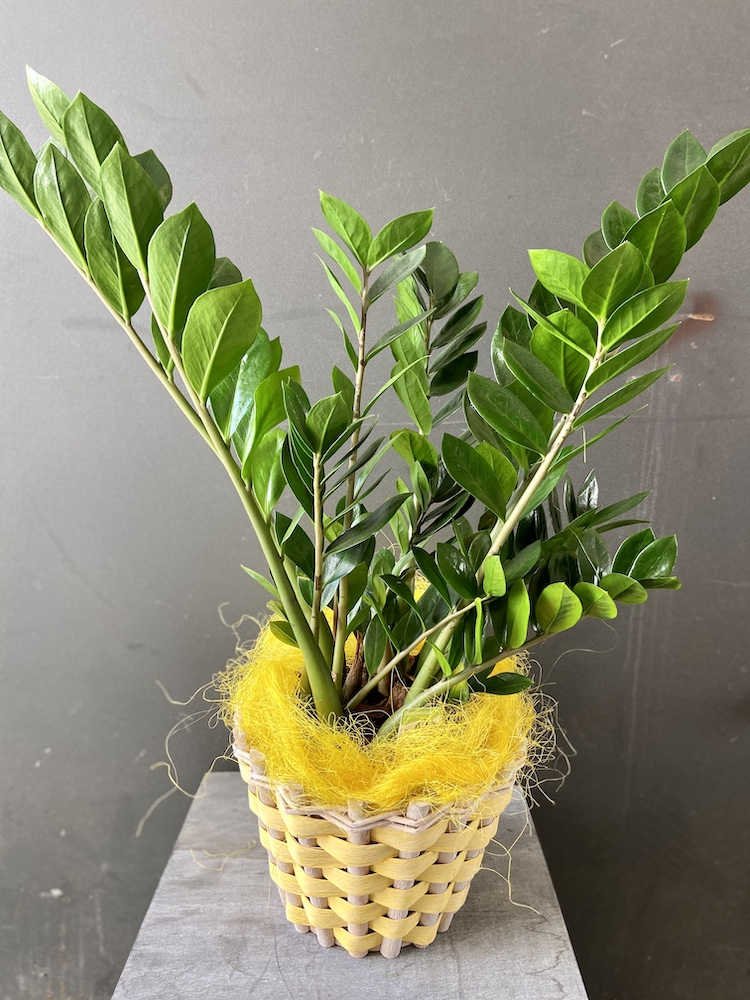 Zamioculcas pianta rossana flower florashopping4